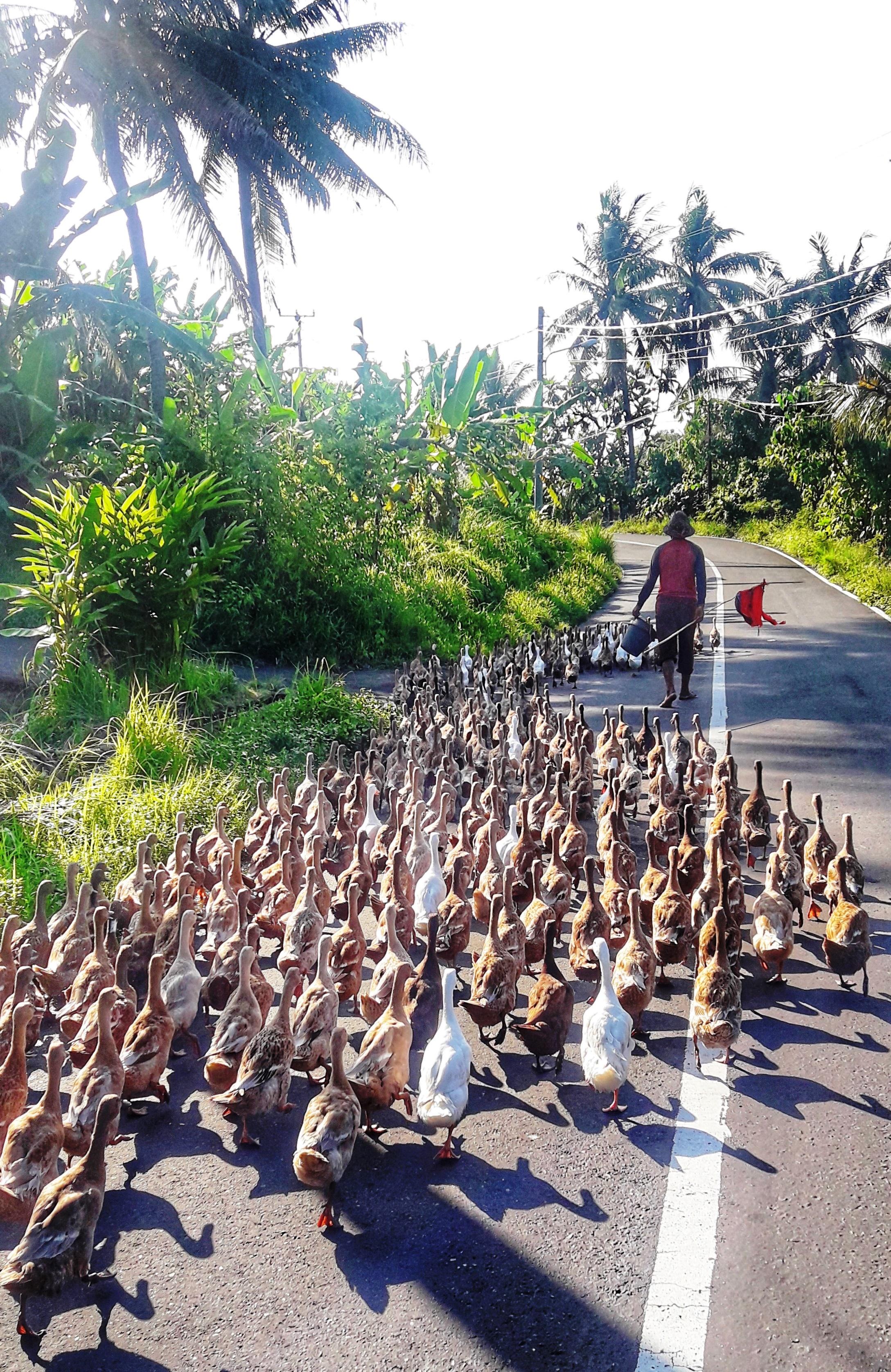 Bali bebek per la strada