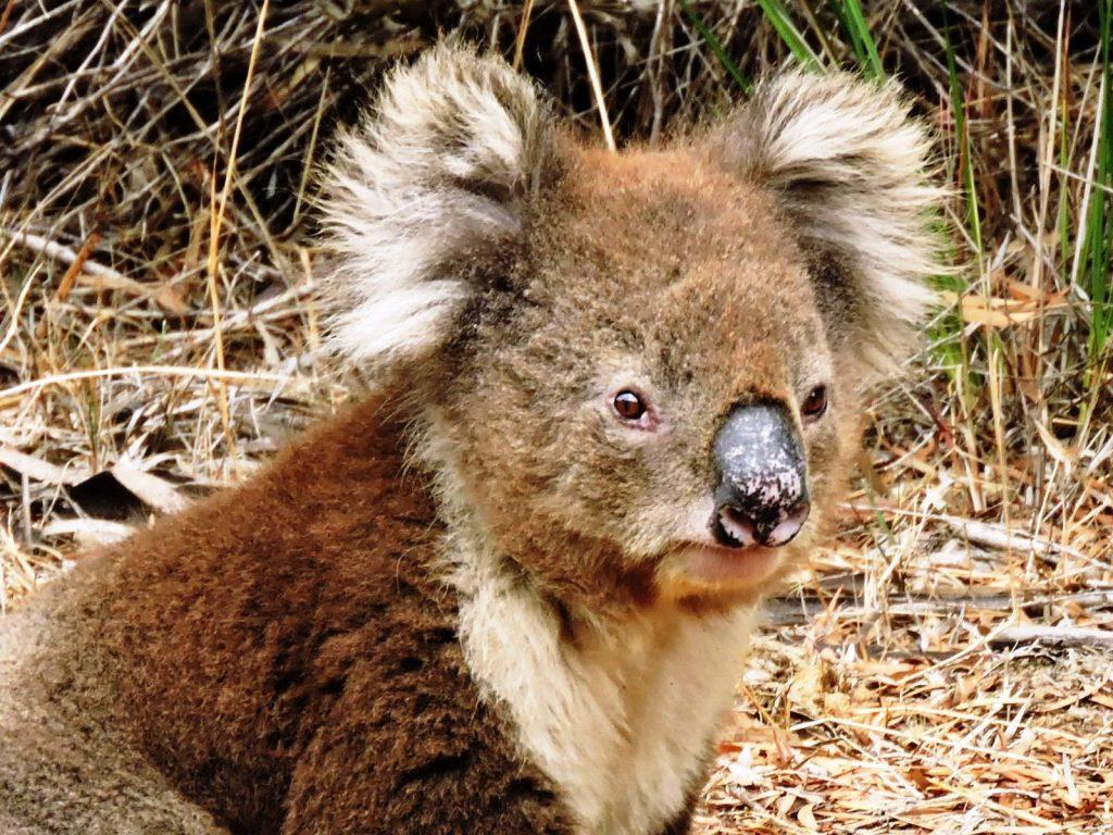 Koala a kangaroo island in australia