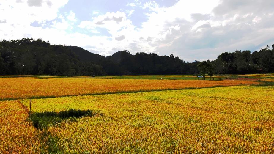 Sulawesi il giallo del riso maturo a toraja land