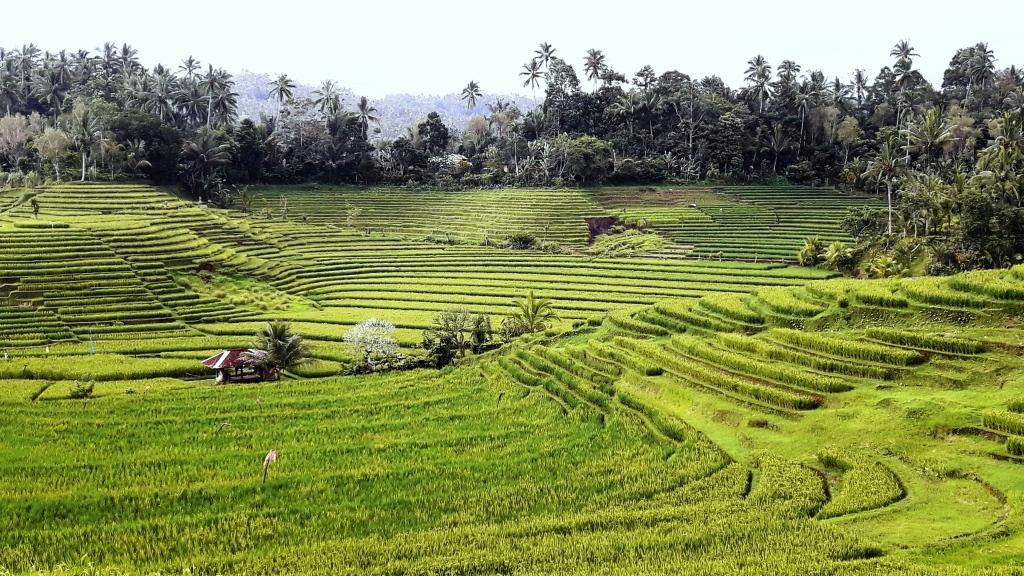 Bali il verde delle risaie dopo la stagione piovosa