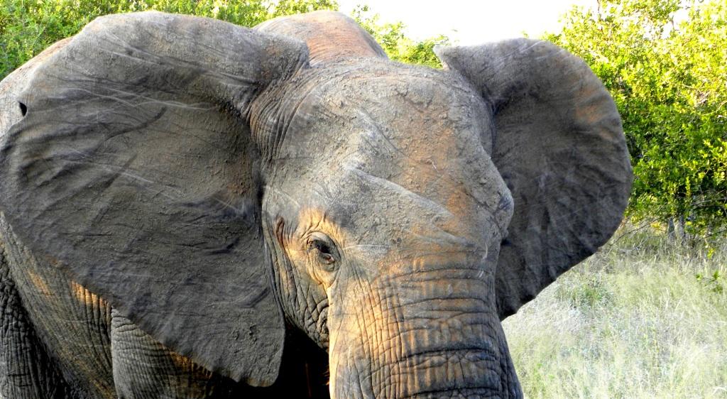 al kruger in sud africa capita spesso di fare incontri ravvicinati con gli elefanti
