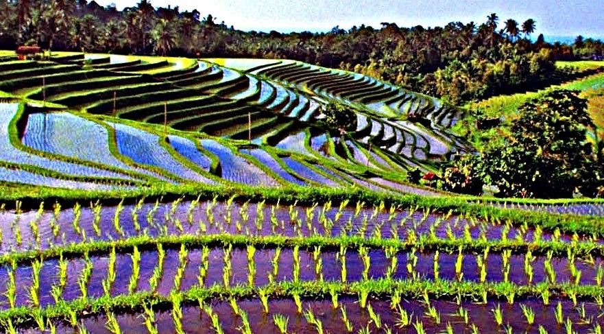 Bali la meravigliosa visione delle grandi risaie protezioni unesco di jatiluwih