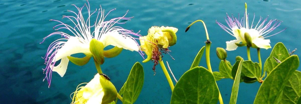 gozo fiori di cappero